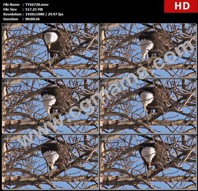 YT66720树上枝头吃食的老鹰雄鹰