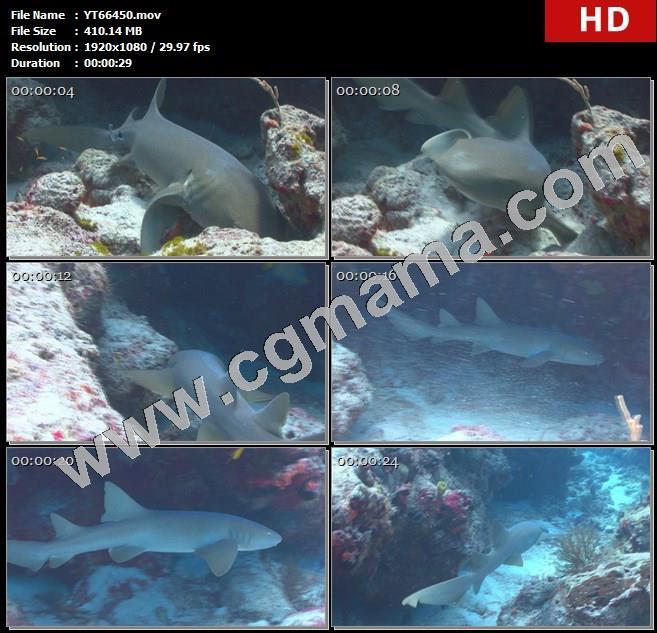 YT66450鲨鱼珊瑚礁附近游动高清实拍视频素材