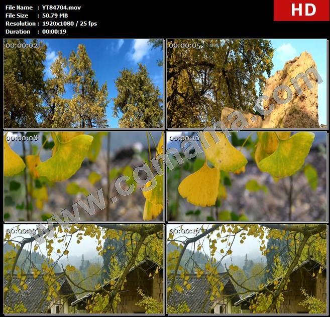 YT84704银杏树银杏叶植物界活化石村庄老围村鸭脚高清实拍视频素材