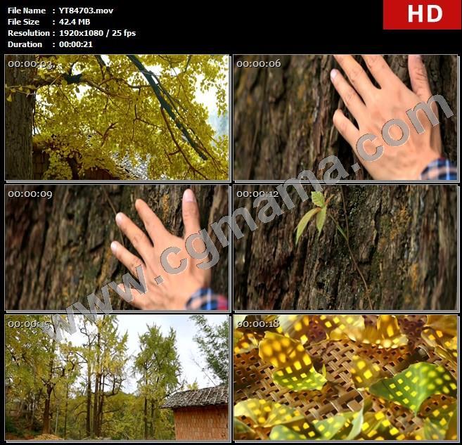 YT84703银杏树银杏叶盛夏树干房屋筛子鸭脚心心相连高清实拍视频素材