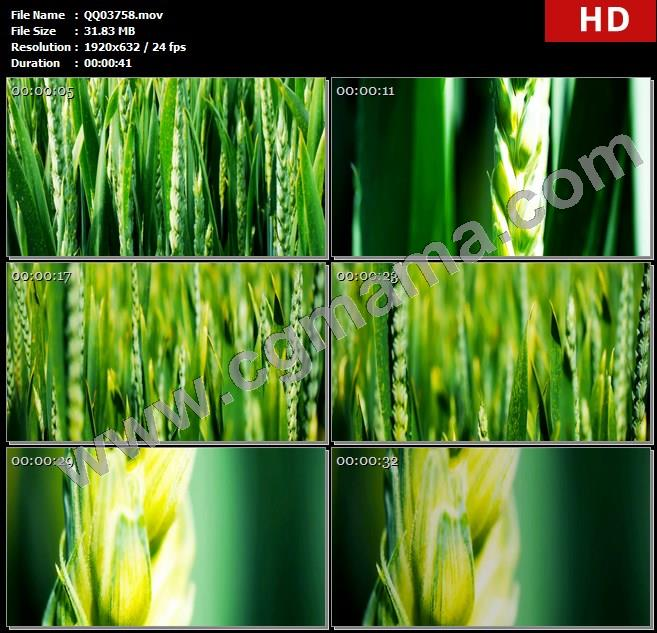QQ03758田野青色小麦随风摇动快速穿过田埂高清镜头实拍高清实拍视频素材