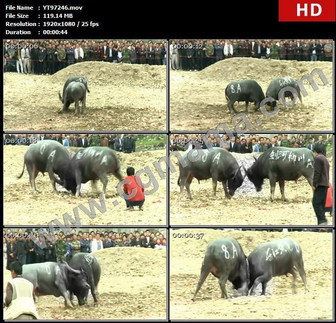 YT97246黑牛争斗比赛活动苗寨苗族高清实拍视频素材