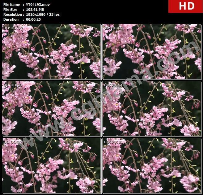YT94193树枝樱花树樱花花朵嫩芽花瓣微风绿叶高清实拍视频素材
