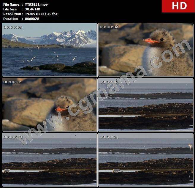 YT92851大海飞鸟鸟类雏鸟石头北极熊动物极地高清实拍视频素材
