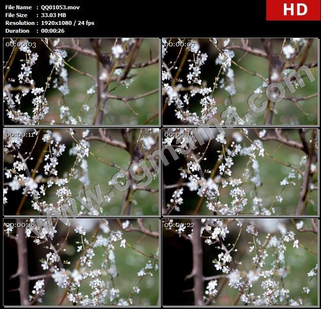 QQ01053万物生长季节唯美樱花树盛开蜜蜂飞往花朵采蜜镜头实拍高清实拍视频素材