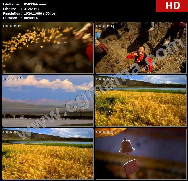 PS02366西藏青稞下雨麦浪转经筒风铃高清实拍视频素材