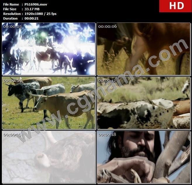 PS16906牛群动物草场草地牧群牧牛高清实拍视频素材