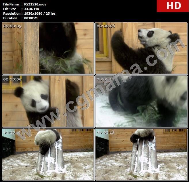 PS31520大熊猫吃竹子玩耍柱子幼熊猫高清实拍视频素材
