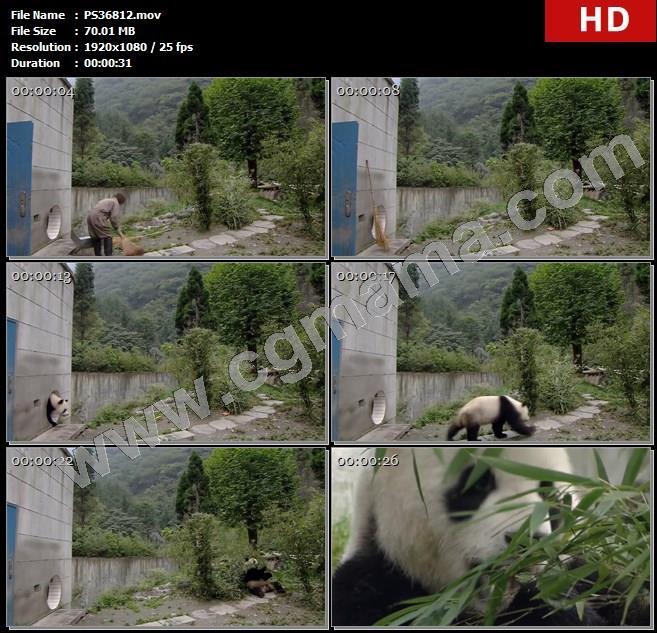 PS36812饲养员开门打扫卫生熊猫散步园子四川卧龙吃竹子熊猫高清实拍视频素材