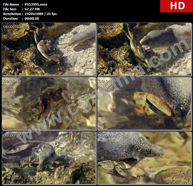 PS53995螃蟹岩石水塘裸胸鳝捕猎猎物水源海水海藻高清实拍视频素材