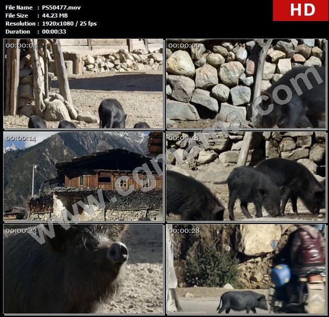 PS50477村庄黑猪房屋石块石头山峰家畜经幡村民高清实拍视频素材