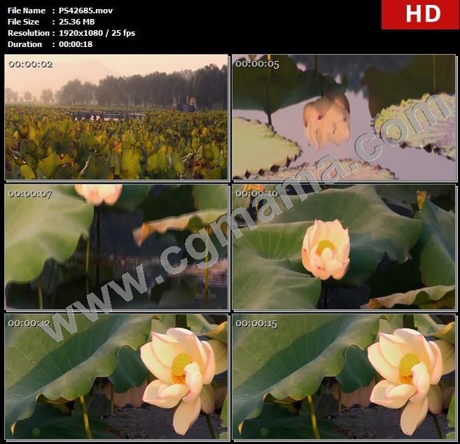 PS42685荷塘荷叶枯荷荷花水池景观大自然树木公园高清实拍视频素材
