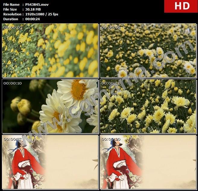 PS43845菊花花丛花朵蜜蜂白菊黄菊诗人陶渊明画像高清实拍视频素材
