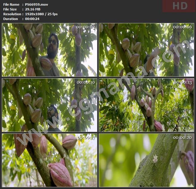 PS66959野生可可果实树枝植物朋友绿叶果子外国人高清实拍视频素材