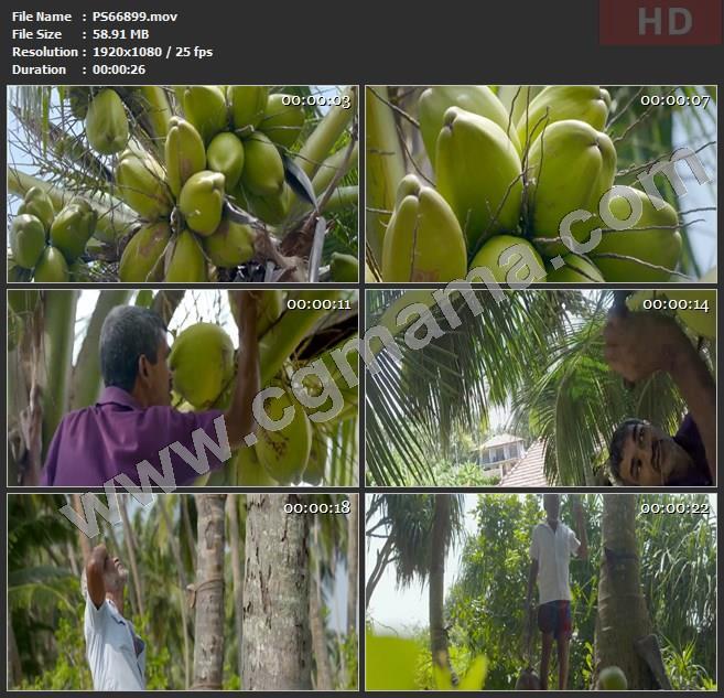 PS66899椰子椰树树木老人采摘柑橘刀具野生水果果实高清实拍视频素材