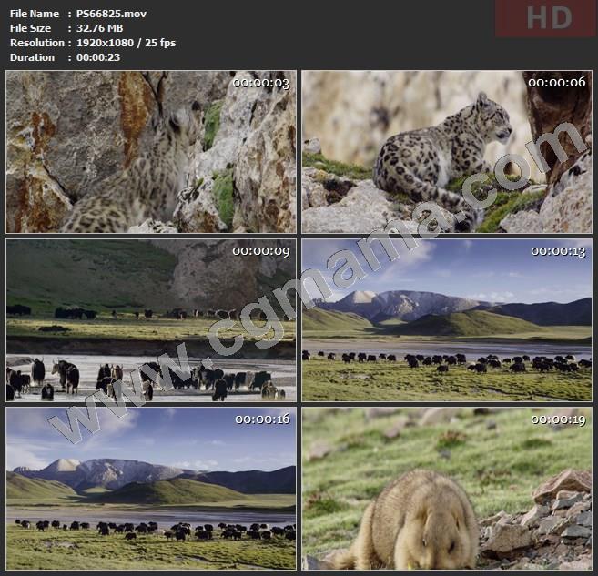 PS66825雪豹岩石山丘草地野花牦牛水域野生动物旱獭高清实拍视频素材