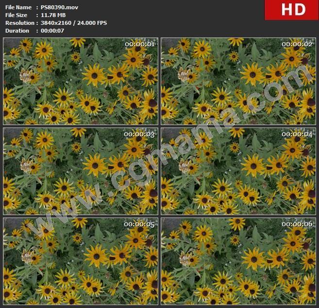 PS80390向日葵园艺开花明亮的花花园花瓣花蜜蜂蜜雏菊黄色的高清视频素材