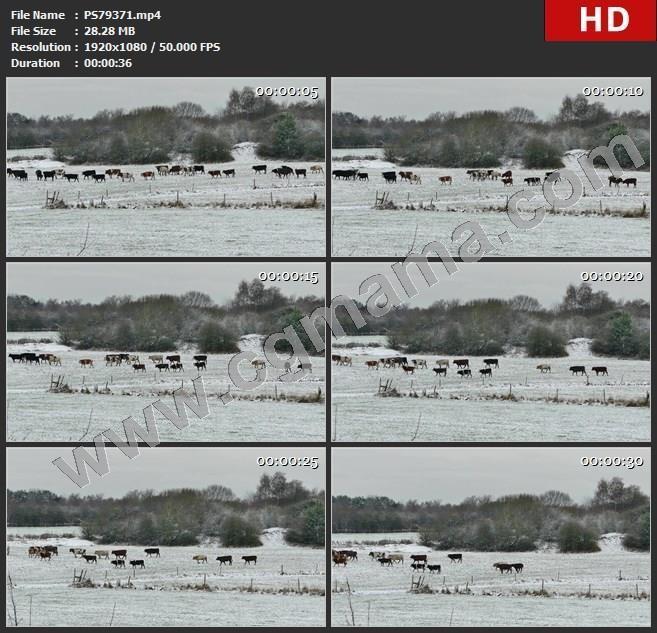 PS79371业农业农场农村农田动物原野哺乳动物奶牛小牛景观牛牛奶牛肉牛角牲畜生物群肉自然食品高清视频素材