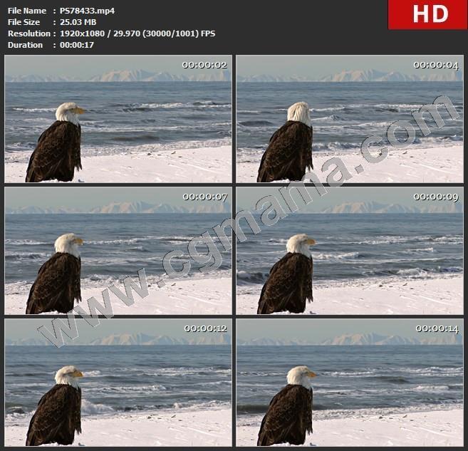 PS78433海边的鹰野生动物高清视频素材