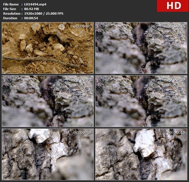 LH14494高清微距拍摄蚂蚁蚁群树干树皮工蚁微观世界实拍视频素材