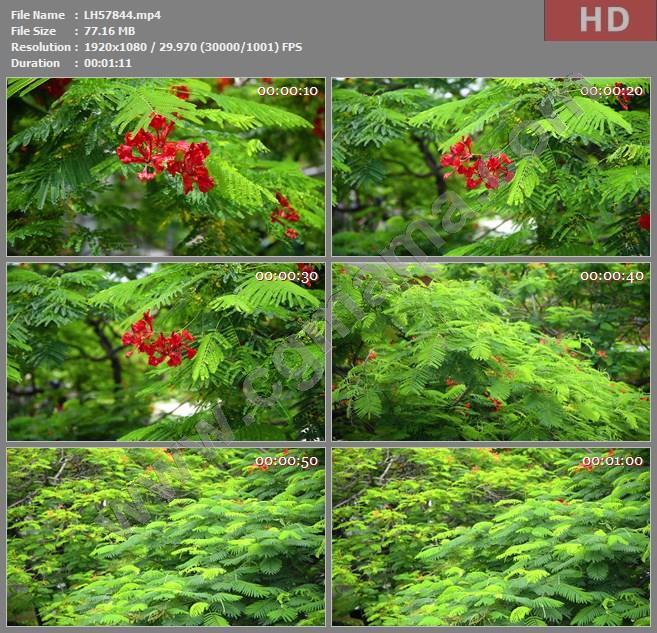 LH57844凤凰花高清实拍视频素材