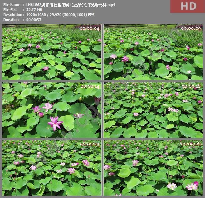 LH61863航拍池塘里的荷花高清实拍视频素材