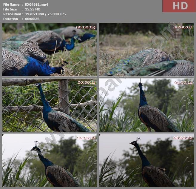 KX04981林间行走的孔雀高清实拍视频素材